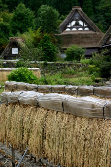 刈り取った稲を天日干しする「稲架(はざかけ)」風景~世界遺産 白川郷 ①
