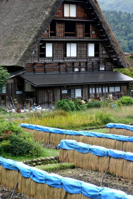 刈り取った稲を天日干しする「稲架(はざかけ)」風景~世界遺産 白川郷 ②