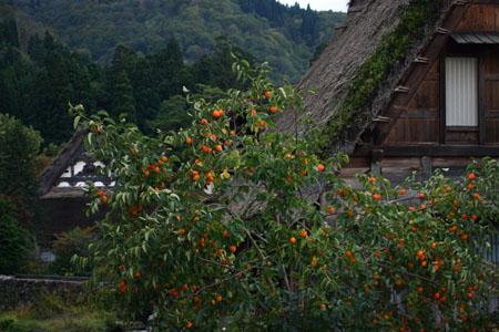 実りの秋は「柿」&白川郷合掌造り~風景~(-^〇^-)ノ⑤