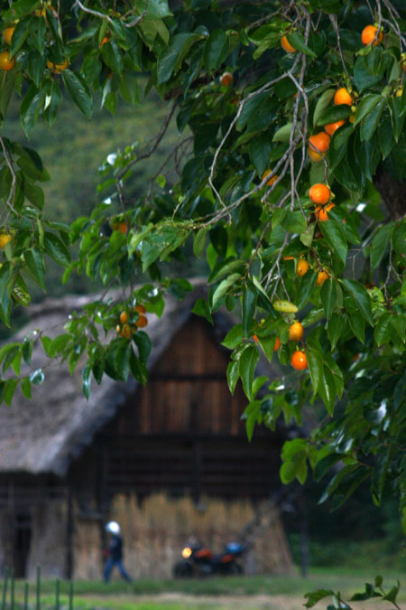 実りの秋は「柿」&白川郷合掌造り~風景~(-^〇^-)ノ④