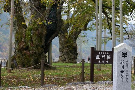 荘川桜 (御母衣ダム) 不可能といわれた移植を可能にし、見事咲き甦った奇跡の桜 ~ 秋の紅葉 ~ ①