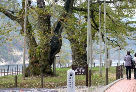 荘川桜 (御母衣ダム) 不可能といわれた移植を可能にし、見事咲き甦った奇跡の桜 ~ 秋の紅葉 ~ ②