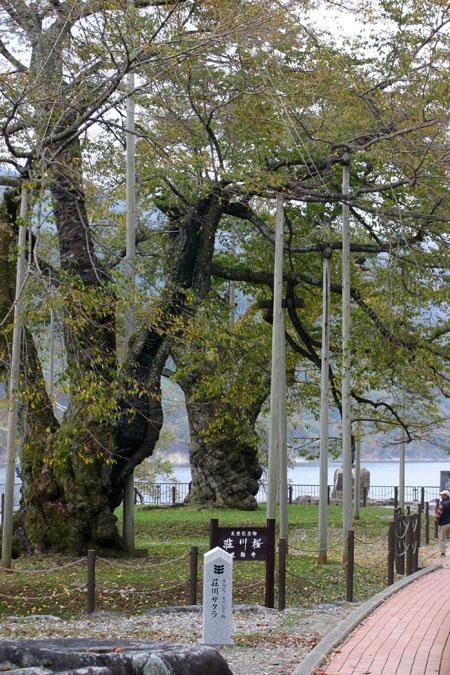 荘川桜 (御母衣ダム) 不可能といわれた移植を可能にし、見事咲き甦った奇跡の桜 ~ 秋の紅葉 ~ ③