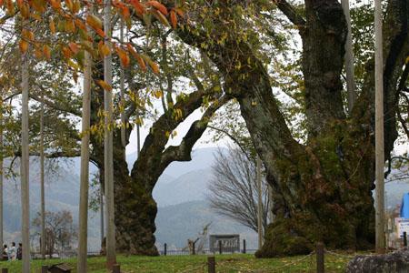 荘川桜 (御母衣ダム) 不可能といわれた移植を可能にし、見事咲き甦った奇跡の桜 ~ 秋の紅葉 ~ ④