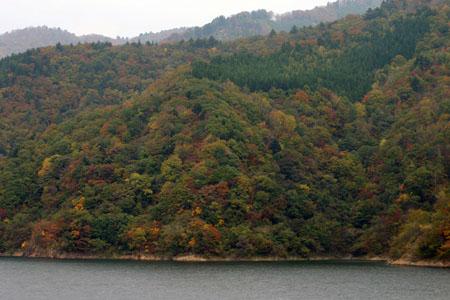 荘川桜 (御母衣ダム) 不可能といわれた移植を可能にし、見事咲き甦った奇跡の桜 ~ 秋の紅葉 ~ ⑥