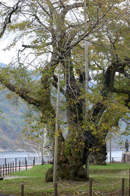 荘川桜 (御母衣ダム) 不可能といわれた移植を可能にし、見事咲き甦った奇跡の桜 ~ 秋の紅葉 ~ ⑨