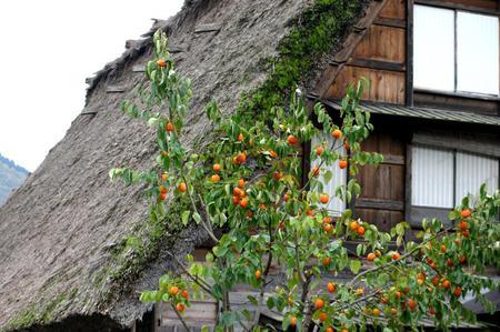秋の紅葉佳境を迎える ~絶景&見所満載な白川郷合掌造り集落~⑥