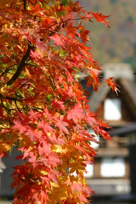 紅葉を眺めながら~ゆったりと散策を楽しもう~世界遺産 白川郷合掌集落 ①
