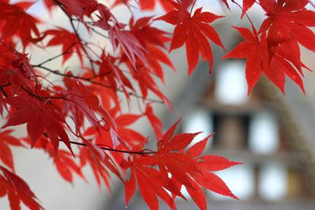 冬を迎える前に 美しく色づく白川郷の紅葉を楽しむ~o(^▽^)o ①