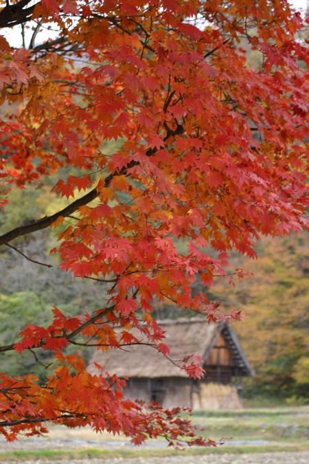 冬を迎える前に 美しく色づく白川郷の紅葉を楽しむ~o(^▽^)o ③