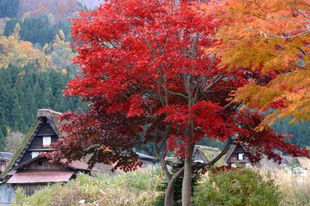 冬を迎える前に 美しく色づく白川郷の紅葉を楽しむ~o(^▽^)o ⑥