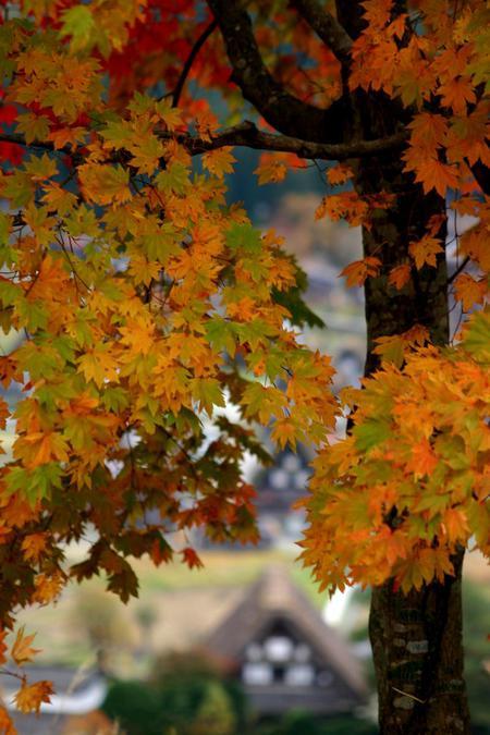 白川郷の山里はいよいよ紅葉シーズンも終盤♪色付いた紅葉も冬支度へと移り変わります! ⑤