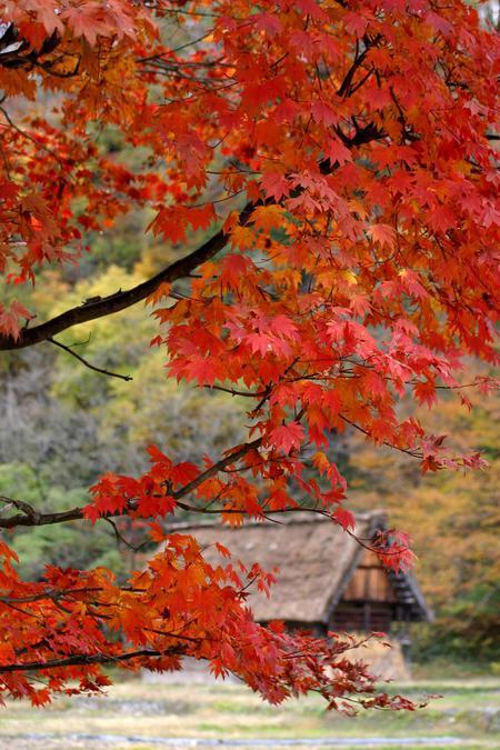 白川郷の山里はいよいよ紅葉シーズンも終盤♪色付いた紅葉も冬支度へと移り変わります! ⑦