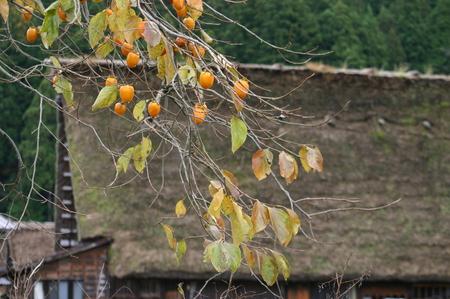 白川郷の山里はいよいよ紅葉シーズンも終盤♪色付いた紅葉も冬支度へと移り変わります! ⑧