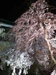 上田城趾公園桜2