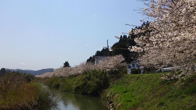 中段・桜1