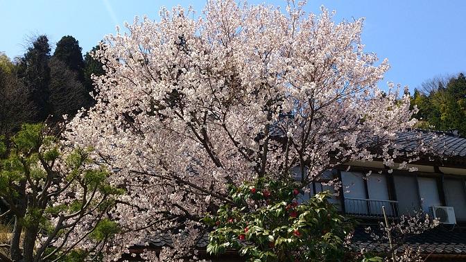 中道家・桜