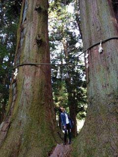 浅間神社縁結びの杉