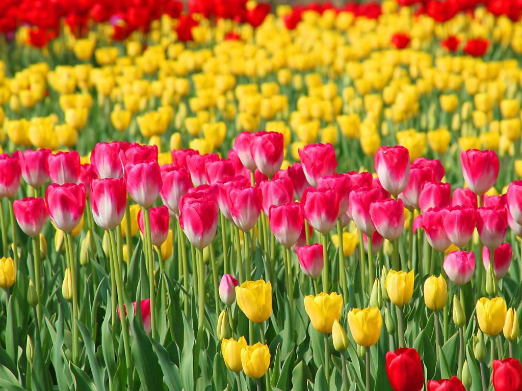 tulip_015.jpg