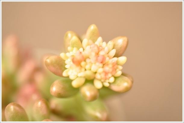 NEWオーロラ花芽