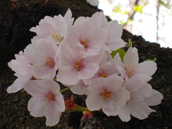 2013年 桜(桜のトンネル) (5)