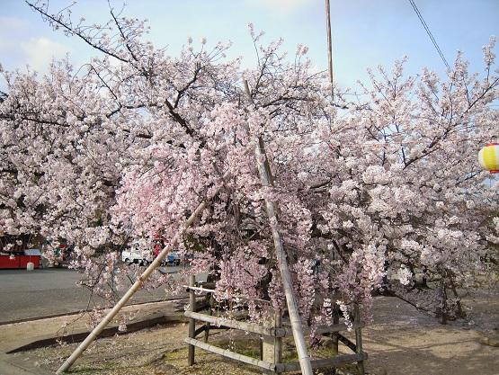 2013年 桜 (護国神社) (2)