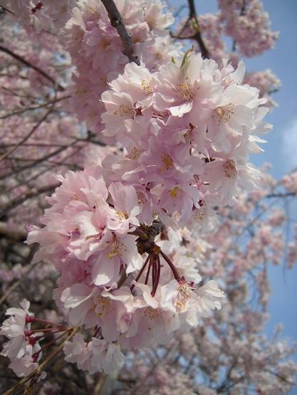 2013年 桜 (護国神社) (3)