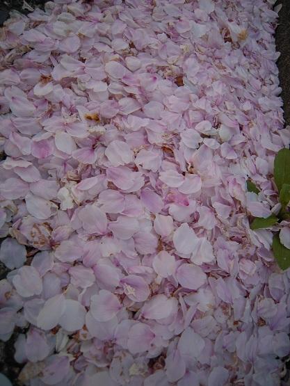 2013年 桜 (護国神社) (4)