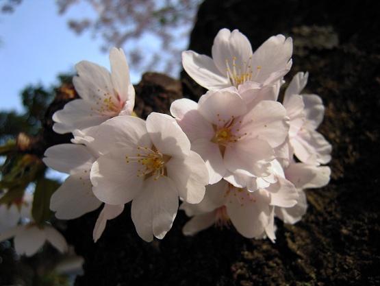 2013年 桜(桜のトンネル) (6)