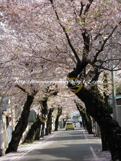 2013年 桜(桜のトンネル)