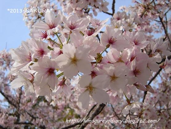 2013年 桜 (護国神社)