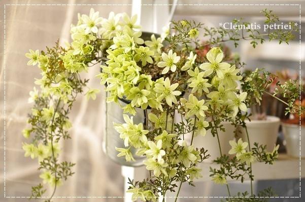 クレマチス・ぺトレイ 2013・4月8日