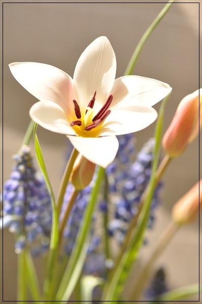 原種チューリップ・レディージェーン開花 2013・4月5日 (2)