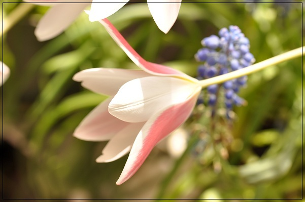 原種チューリップ・レディージェーン開花 2013・4月8日 (3)