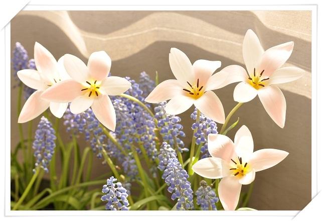 原種チューリップ・レディージェーン開花 2013・4月8日