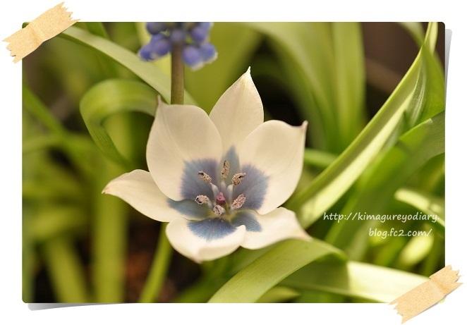原種チューリップ開花(アルバ セルレアオクラー)2013・4月4日