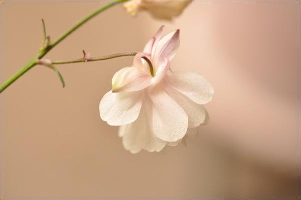 風鈴オダマキ (4)