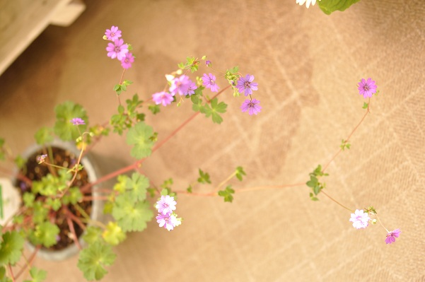 フウロ草(ビルウォーリス)2013・5月3日