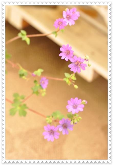 フウロ草(ビルウォーリス)2013・5月3日 (2)