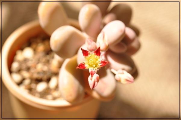 アメチスチナムのお花開花 2013・5月18日 (2)