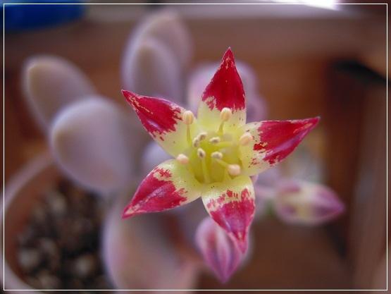 アメチスチナムのお花開花 2013・5月18日