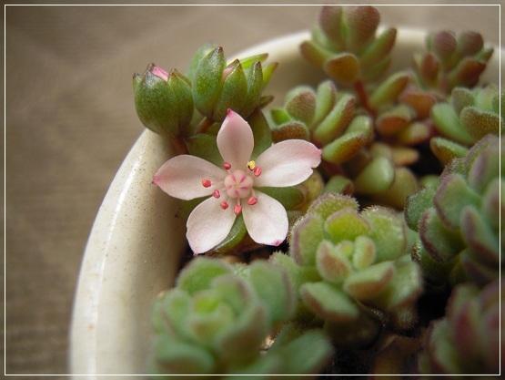 スプリングワンダーの花 2013・5月15日 (2)