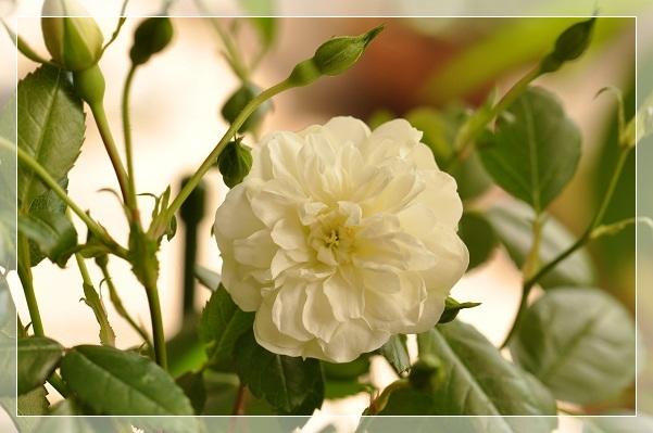 ミニバラ・グリーンアイス開花 2013・5月18日