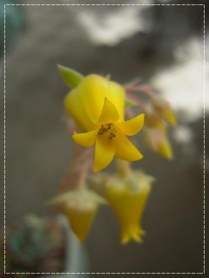 花うららのお花開花 2013・5月15日
