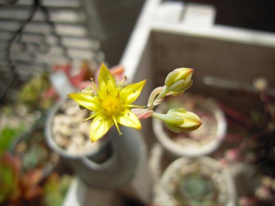 秋麗のお花開花 2013・5月15日
