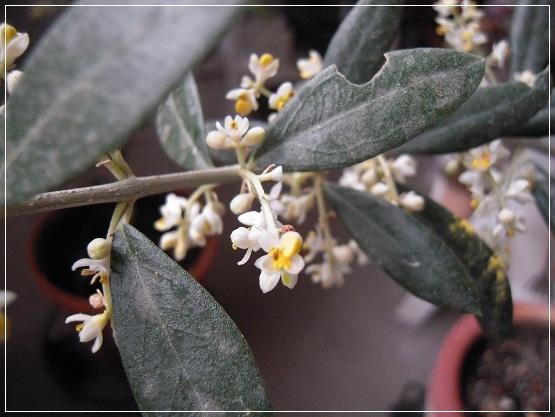 オリーブの花開花 (2)