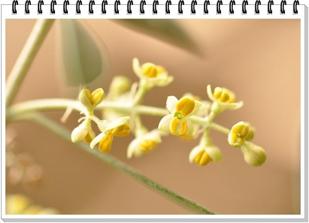 オリーブの花開花 (3)