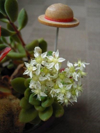 クラバーツムの花開花