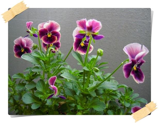 ビオラ・紫切り戻し後開花