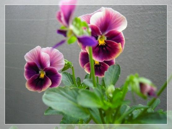 ビオラ・紫切り戻し後開花 (2)